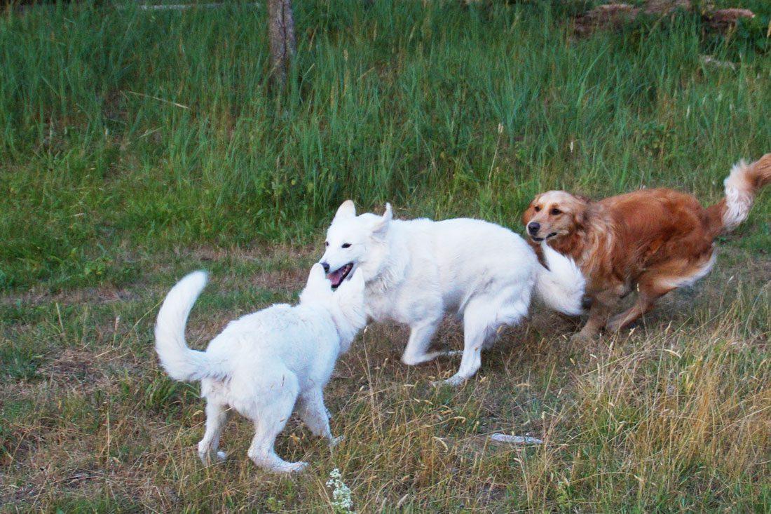 hondenuitlaten-spelen-roedel